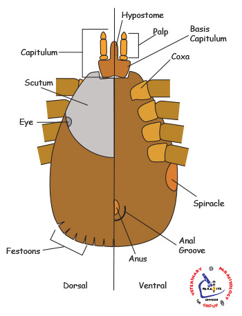 Anatomy of a tick