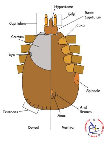 Anatomy of a tick